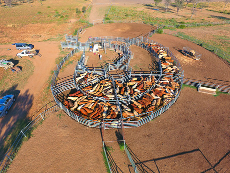 Cattle station fall from height lands $1.55m fine | NSCA Foundation newsletter the Safe-T-Bulletin